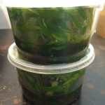 Cryptocoryne Wendtii Green in Tissue Culture