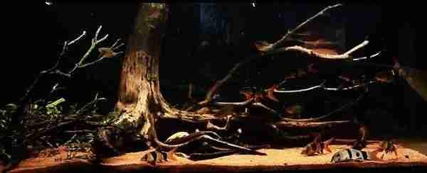 Sumatra Biotope Aquarium
