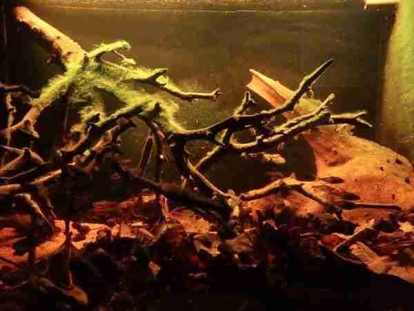 Kuribrong River Guyana Aquarium Biotope