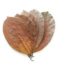 Jackfruit Katahal Leaves