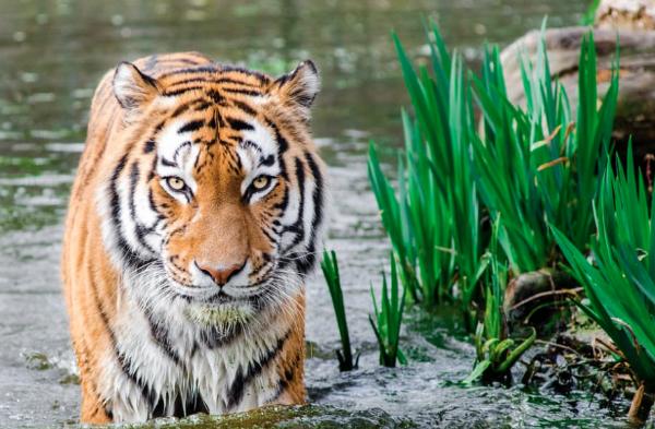 Tiger in water near plants