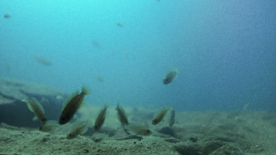 Lamprologus multifasciatus biotope aquarium - Walter Vazquez