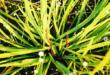 Cryptocoryne spiralis var spiralis as an ayurvedic medicinal plant
