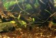 Biotope Aquarium Neon Rainbow West Papua
